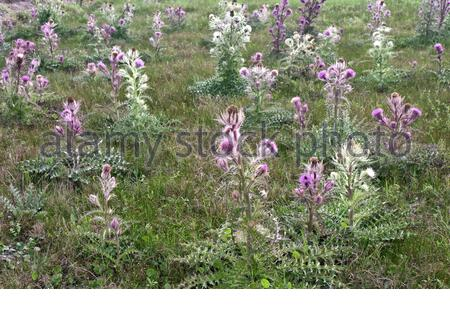 Colorful Bull Thistles (or  yellow thistle)  'Cirsium horridulum Michx', growing in pasture field. - Stock Photo