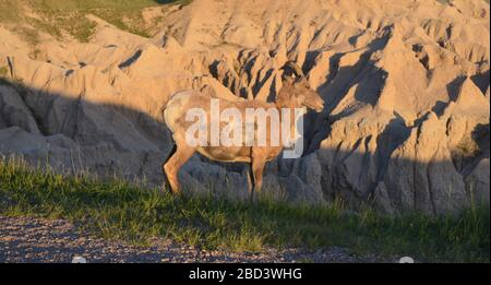 Late Spring in South Dakota: Close-up of Bighorn Sheep at Pinnacles Overlook Along Loop Road in Badlands National Park - Stock Photo