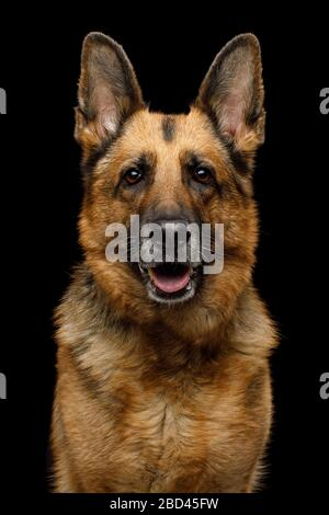 Closeup Portrait of Gazing German Shepherd Dog on Isolated Black Background - Stock Photo