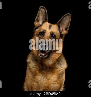 Portrait of Cute German Shepherd Dog Turning head on Isolated Black Background - Stock Photo