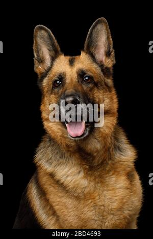 Adoeable Portrait of German Shepherd Dog on Isolated Black Background - Stock Photo