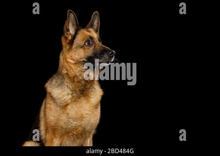 Portrait of Cute German Shepherd Dog Looking Curious on Isolated Black Background - Stock Photo