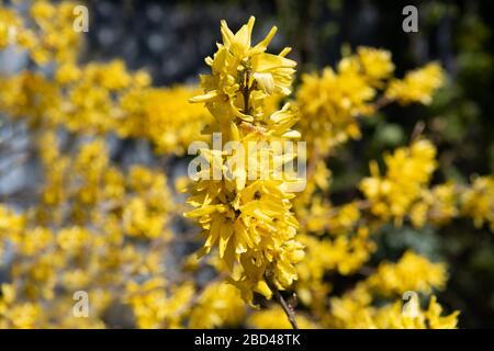 Flower Forsythia×intermedia, also known as border forsythia. Yellow Spring flower. Bokeh effect. Spring template. Britain in bloom. - Stock Photo