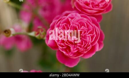 Beautigul Rose flowers in Village - Stock Photo