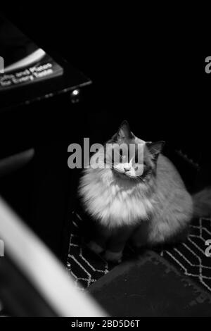 Ragdoll cat sitting on a patterned carpet looking up at the camera