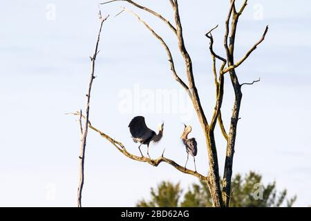Two Great Blue Herons performing a courtship ritual at the top of a tall tree in a rookery. - Stock Photo