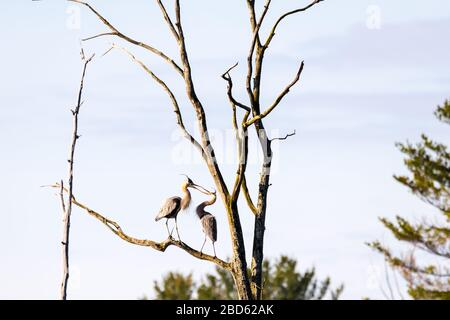 Two Great Blue Herons performing a courtship ritual, touching their beaks together, at the top of a tall tree in a rookery. - Stock Photo