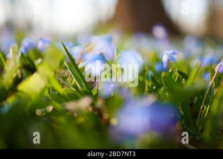 A spring meadow of blurred Alpine squill (Scilla bifolia) purple blue flowers at sunset. Concept for spring and flower blooming, nature background, pe - Stock Photo
