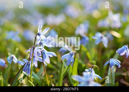 The Alpine squill (Scilla bifolia) purple blue flower searching for sunlight in a meadow at spring time. Concept for spring and flower blooming, natur - Stock Photo