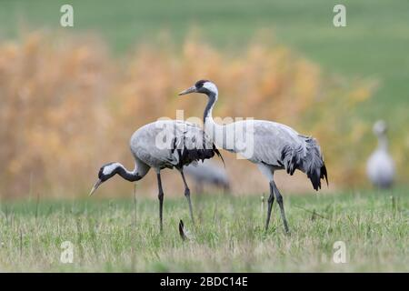 Common Cranes ( Grus grus ), two, pair, couple, resting on grassland, searching for food, close by, detailed shot, natural surrounding, wildlife, Euro - Stock Photo