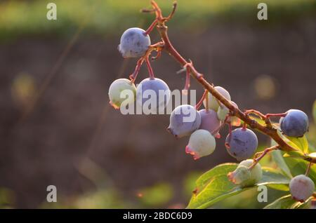 Blueberries - delicious, healthy berry fruit. Vaccinium corymbosum, high huckleberry bush. Blue ripe fruit on the healthy green plant. Food plantation - Stock Photo