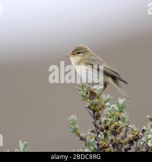 Willow Warbler / Fitis ( Phylloscopus trochilus ), little bird, adult male in spring, perched on top of seabuckthorn, singing, wildlife, Europe. - Stock Photo