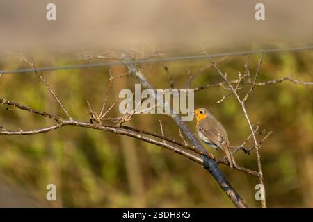 European robin on fence post seen through field gate - Stock Photo