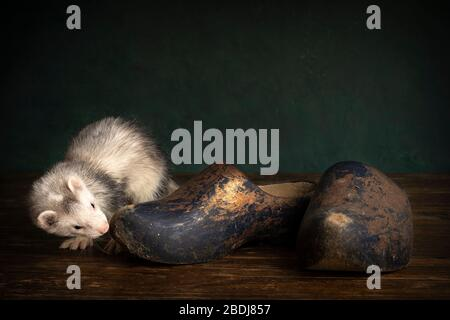 Young ferret or polecat puppy in a stillife scene with clogs or wooden shoes which are typical for The Netherlands against a green background - Stock Photo