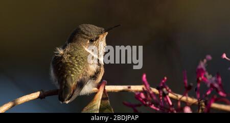 cute juvenile hummingbird - Stock Photo