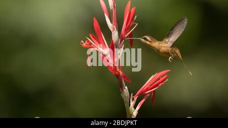 flying hermit hummingbird - Stock Photo