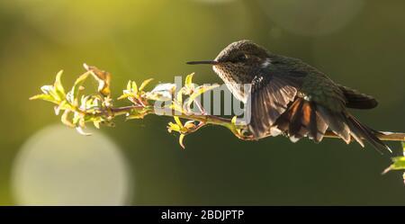 Wingspread volcano hummingbird - Stock Photo