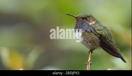 purple bearded volcano hummingbird - Stock Photo
