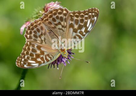 Kaisermantel (Argynnis paphia) Weibchen, dunkle Form - Stock Photo