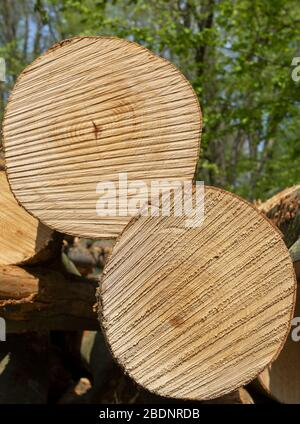 Freshly felled trees in the New forest, England, UK - Stock Photo