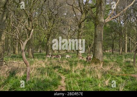Deer in Phoenix Park, Dublin city, Ireland. - Stock Photo