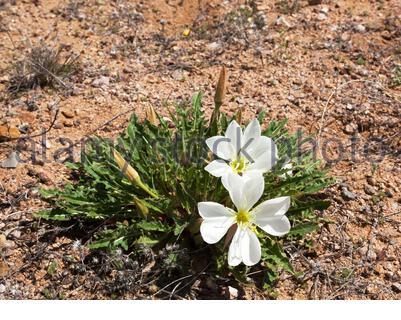Stemless Evening Primrose, Oenothera caespitosa, in southwestern New Mexico, USA - Stock Photo