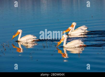 Four American White Pelicans (Pelecanus erythrorhynchos) swim on the waters of Unit 2 at Bear River Migratory Bird Refuge near Brigham City, Utah, USA. - Stock Photo