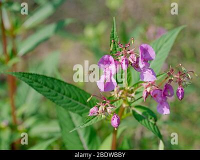 Flowering glandular balsam, Impatiens glandulifera