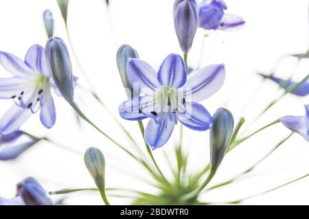 Alpine squill with white background Scilla bifolia - Stock Photo