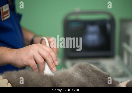 The vet does an ultrasound cat in clinic - Stock Photo