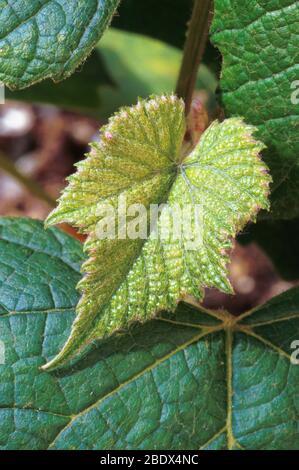 Concord grape plant - Stock Photo