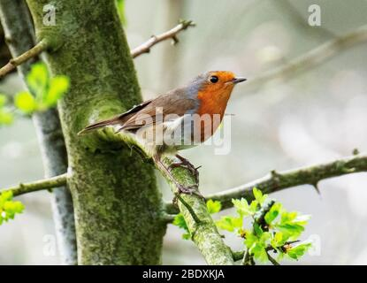 A Robin (Erithacus Rubecula) perched on a branch, Almondell country park, West Lothian, Scotland. - Stock Photo