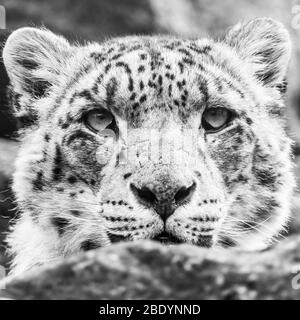 Square crop head shot of a Snow Leopard as it watches on from a high vantage point in rocks in England.  Seen in the spring of 2019.