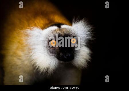 Black lemur (Eulemur macaco) female surprised, Palmarium Reserve, Madagascar