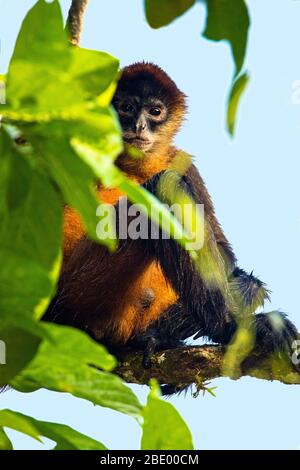 Spider monkey on tree branch, Costa Rica - Stock Photo