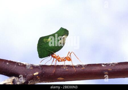 Leaf-cutting ant with leaf