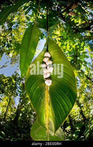 Honduran white bat (Ectophylla alba), Sarapiqui, Costa Rica - Stock Photo