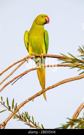 Rose ringed parakeet (Psittacula krameri) perching on branch, India - Stock Photo