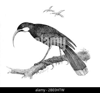 The huia (Heteralocha acutirostris) was the largest species of New Zealand wattlebird, endemic to the North Island of New Zealand. Its extinction in the early 20th century had two primary causes. The first was rampant overhunting to procure huia skins for mounted specimens, which were in worldwide demand by museums and wealthy private collectors. Huia were also hunted to obtain their long, striking tail feathers for locally fashionable hat decorations. The second major cause of extinction was the widespread deforestation of the lowlands of the North Island by European settlers to create pastur