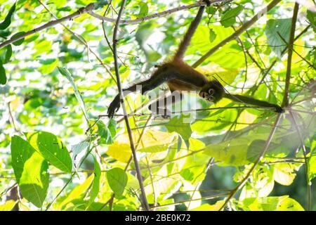 Central American Spider Monkey, Ateles geoffroyi, Cebidae, Corcovado National Park; Osa Peninsula; Costa Rica; Centroamerica - Stock Photo