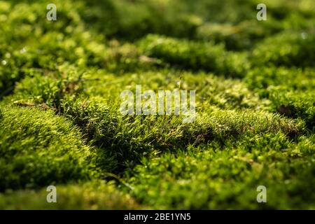 Beautiful green moss on the forest ground close up - Stock Photo