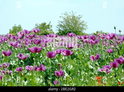 purple poppy field in full bloom in spring. scientific name Papaver somniferum. colorful rural scene. tree line in the background. medical ingredient