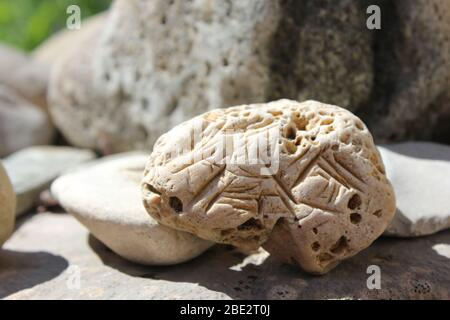 Hag Stone With Markings Stock Photo Alamy The two parts of the shell (the valves) are still. alamy