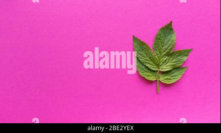 Grean leaves on pink background. Simple flat lay with pastel texture. Fashion eco concept. Stock photo. - Stock Photo
