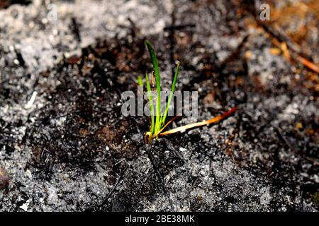 Sprout rises over burnt ground. Grass ash after arson. Recovery after massive crysis. Future resurrection. - Stock Photo