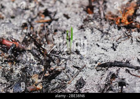 Sprout rises over burnt ground. Grass ash after arson. Recovery after massive crysis. Future resurrection. Centered. - Stock Photo