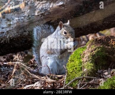 Grey Squirrel, (Sciurus Carolinensis) sitting feeding in woodland, West Lothian, Scotland.