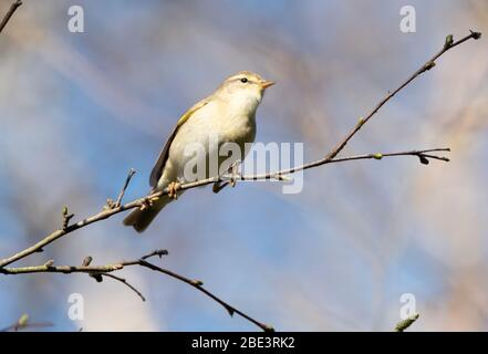 A Willow Warbler (Phylloscopus trochilus) perched on a twig in a tree feeding, West Lothian, Scotland. - Stock Photo