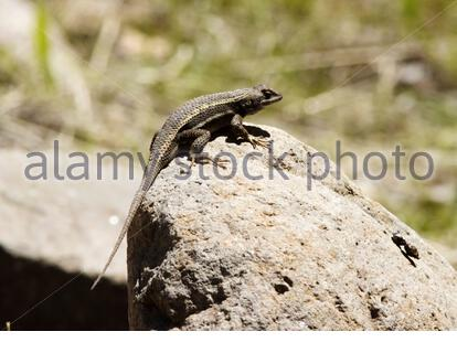 Striped Plateau Lizard, Sceloporus virgatus, on rock in Arizona USA - Stock Photo
