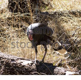 Gould's Wild Turkey, Meleagris gallopavo mexicana, Mexican Wild Turkey, tom (male) in Arizona USA - Stock Photo
